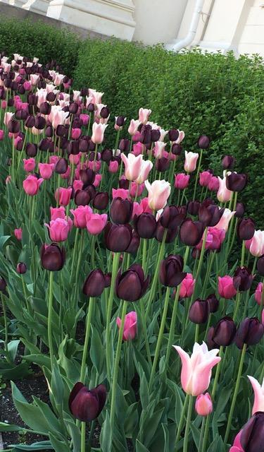 purpletuilips